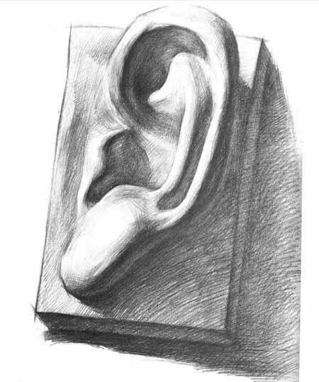 耳朵的形状呈倒三角形,由内,外耳轮,耳孔,耳屏,耳垂组成,耳朵的结构在